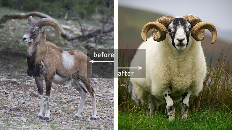 Armenian Mouflon, Ancestor of Sheep