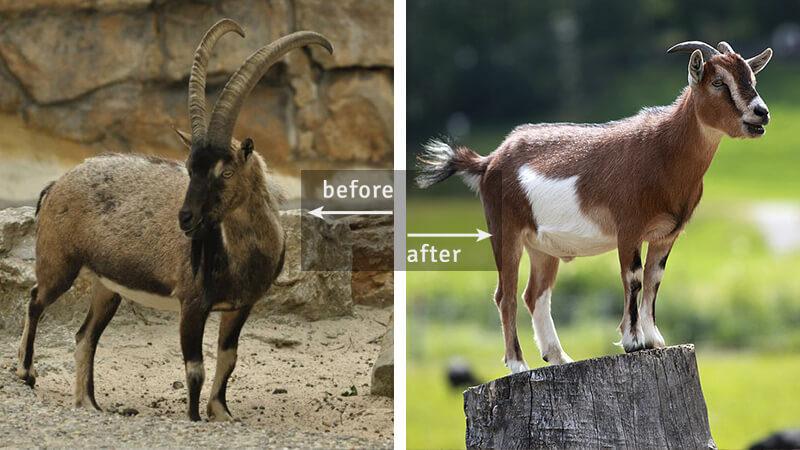 Bezoar Ibex, Ancestor of Goat